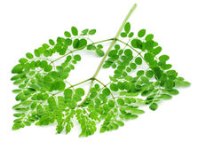 Edible moringa leaves Royalty Free Stock Photo
