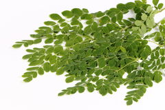 Edible moringa leaves or drumstick leaves. Edible green drumstick leaves in white background. Small leaves.Healthy and easily available Stock Images