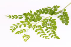 Edible moringa leaves or drumstick leaves. Edible green drumstick leaves in white background. Small leaves.Healthy and easily available Royalty Free Stock Photo
