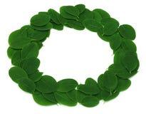 Edible moringa leaves make a frame Stock Image