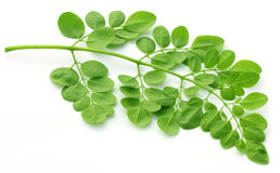 Edible moringa leaves over white background stock image