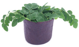 Edible moringa leaves in a vintage mortar Royalty Free Stock Photo