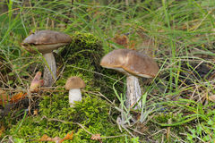 Edible mushroom Stock Photo