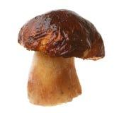 Edible mushroom Boletus edulis Stock Photos