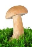 Edible mushroom Stock Photography