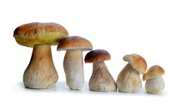 Edible mushroom Boletus. Edible mushroom Boletus isolated on a white background Stock Photos