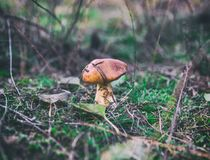 Edible mushroom on a clearing in the forest. Edible mushroom Suillus on a clearing in the forest Stock Images