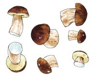 Edible   mushroom   drawing oak cepe Stock Images
