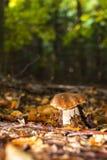 Edible mushroom Stock Image