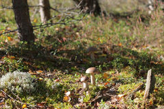Edible mushroom glade in the forest Royalty Free Stock Photos