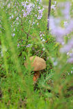 Edible mushroom in the grass. Stock Image