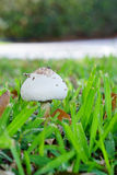 Edible mushroom on the grassland Stock Photos