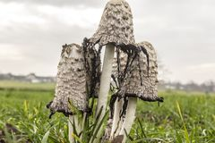 Edible mushroom ,growing on the field - the shaggy ink cap,lawyer`s wig,or shaggy mane. stock photo