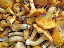 Edible mushroom heap, forest fungus, Stock Image