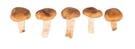 Edible Mushroom III Stock Photo