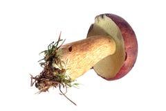 Edible mushroom Royalty Free Stock Photo