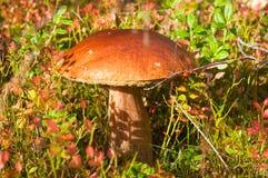 Edible mushroom (Leccinum) Stock Image