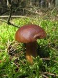 Edible mushroom on moss Royalty Free Stock Image