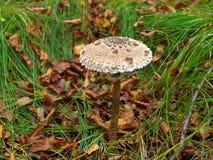 Parasol mushroom growing in grass Stock Photo