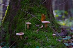 Edible mushroom pigs grow in forest moss. Stock Photos