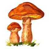 Edible mushroom Suillus luteus Stock Photography