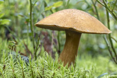 Edible mushroom xerocomus subtomentosus in moss macro Stock Photography