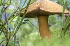 Edible mushroom xerocomus subtomentosus in moss macro Stock Images