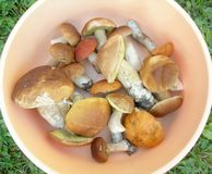 Edible mushrooms. Stock Photo