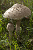 Edible mushrooms Royalty Free Stock Photo