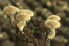 Edible Mushrooms Stock Image