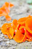 Edible mushrooms (aleuria aurantia) Stock Images