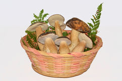 Edible mushrooms boletus Stock Images