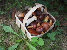 Edible mushrooms Stock Photography