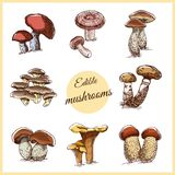 Edible Mushrooms Color Sketches. Collection of edible hand drawn mushrooms isolated on white background. Vector illustration Stock Photos