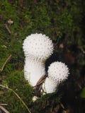 Edible mushrooms Common Puffball or Lycoperdon perlatum, macro, selective focus, shallow DOF Stock Image