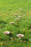 Edible mushrooms in fall Royalty Free Stock Photos