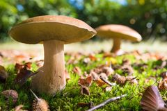 Edible mushrooms in forest. Closeup of some boletus edulis in a park Royalty Free Stock Photo