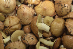 Edible mushrooms. Forest find, edible, autumn mushrooms Royalty Free Stock Photos