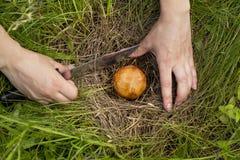 The edible mushrooms Stock Photography