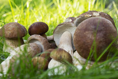 The edible mushrooms Stock Images