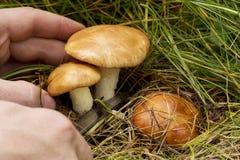 The edible mushrooms Royalty Free Stock Photo