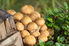 Edible mushrooms honey agaric stock photo