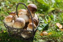 Edible mushrooms. In a little basket Stock Images