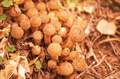 Edible mushrooms. Stock Image