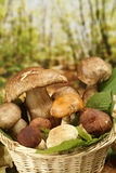 Edible Mushrooms nest. With leaves Royalty Free Stock Image