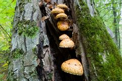 Edible mushrooms Pholiota aurivella grow in the forest on the tr Royalty Free Stock Images