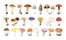 Edible mushrooms set. Stock Photo