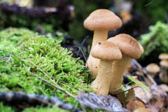 Edible mushrooms. Three beautiful mellow mushroom is edible Royalty Free Stock Image