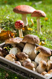 Edible mushrooms Stock Photography