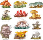 Edible mushrooms. Vector collection of 11 edible mushrooms Stock Photos